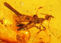Neotype_male_of_Electrostephanus_petiolatus_Brues_in_Baltic_amber_(AMNH_B-JWJ-260)