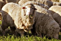 Merino_sheep in wool