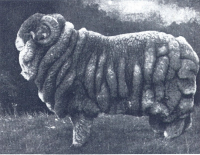 Wench Champion_Merino_ram_(1905)