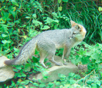 Wench GrayFoxwild